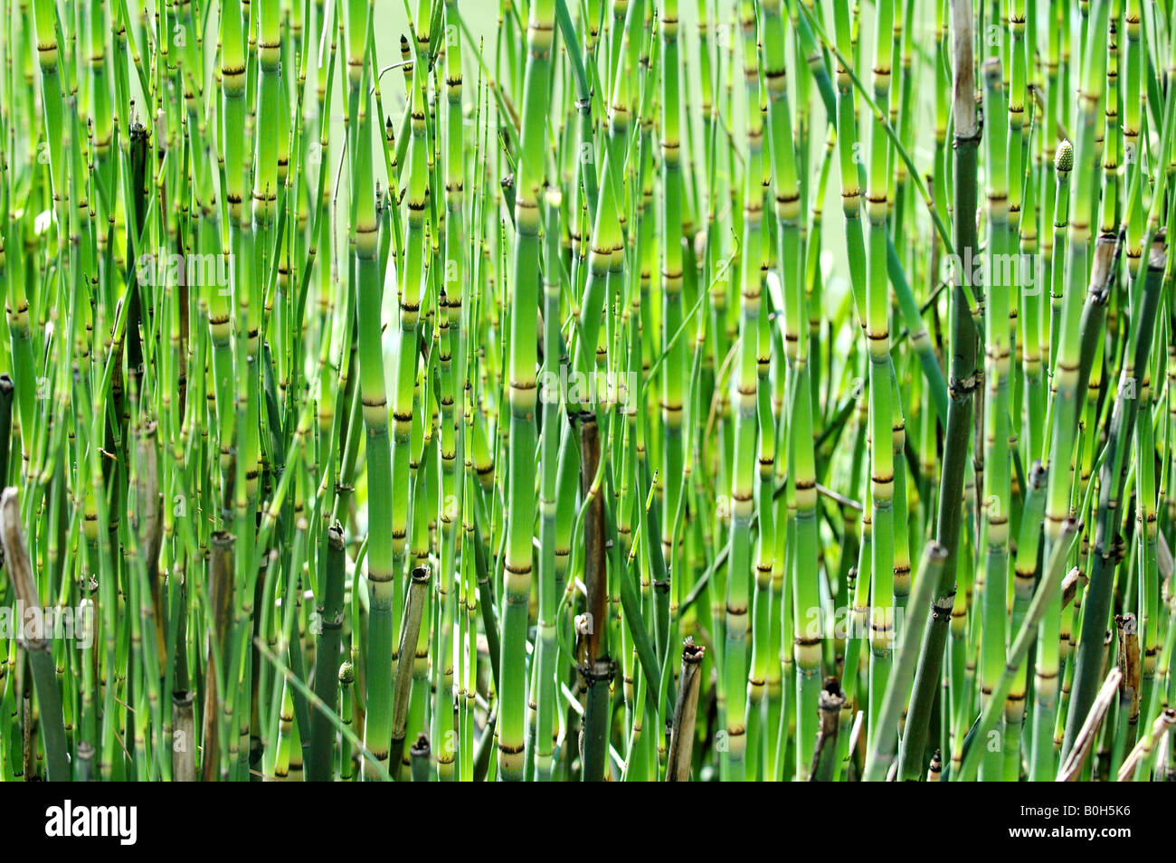 green bamboo background - Stock Image