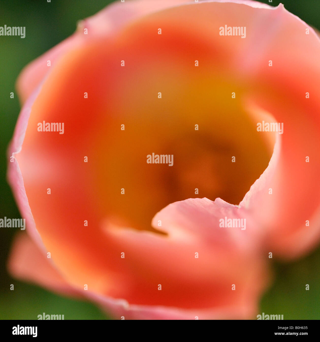 Tulipa Apricot Beauty - Stock Image