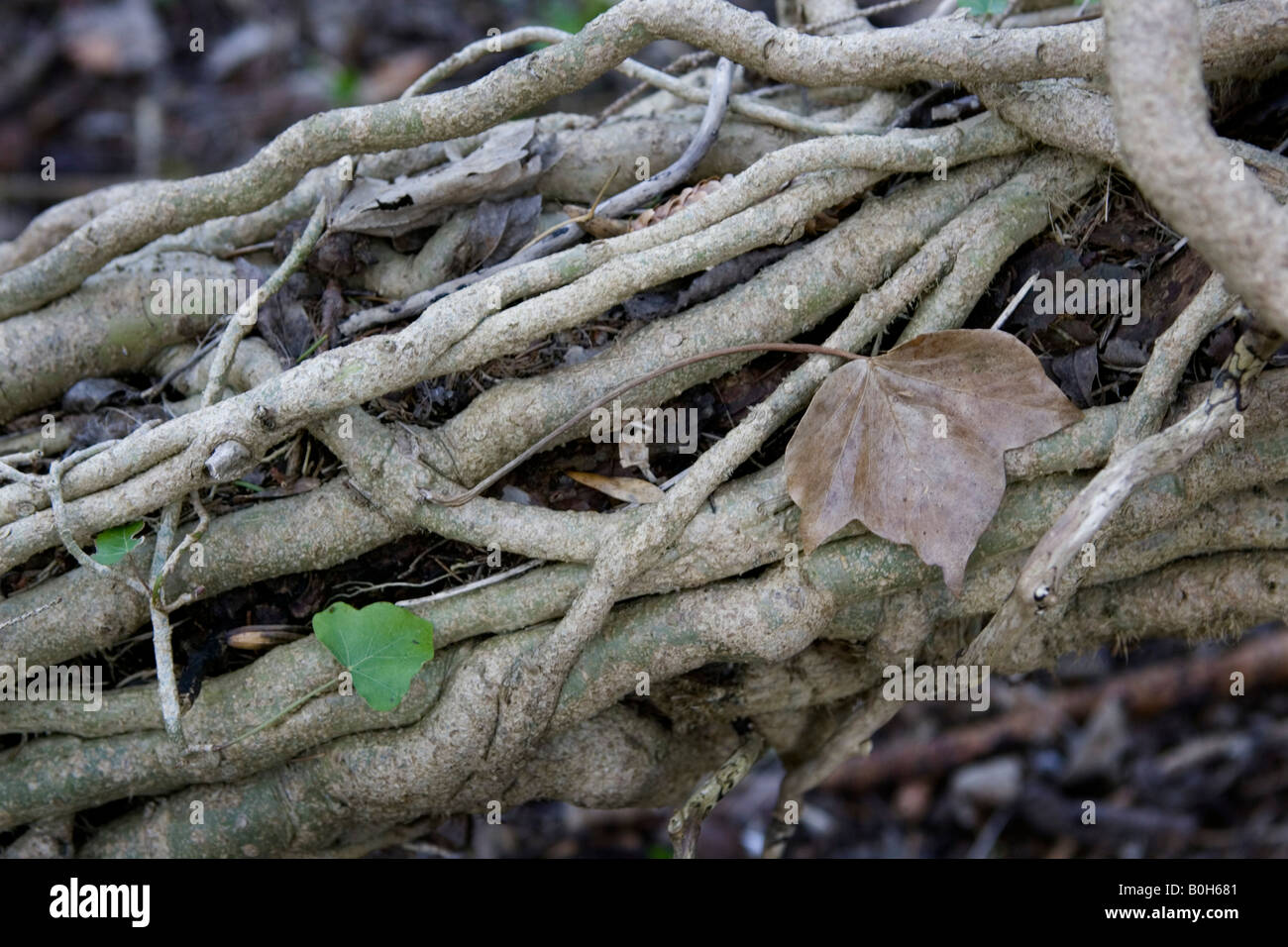 A fallen log entwined in ivy. Stock Photo