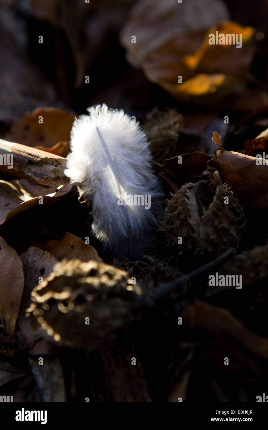 A discarded owl feather on the forest floor near Medmenham in Buckinghamshire, England. Stock Photo
