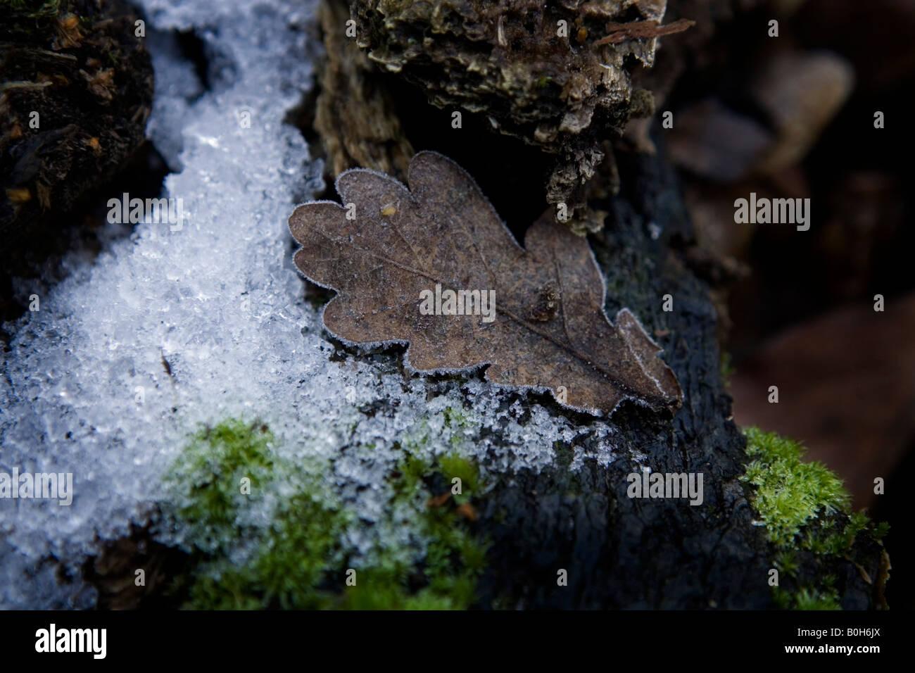 An oak leaf rimmed with frost in a woods near Medmenham in Buckinghamdshire, England. Stock Photo