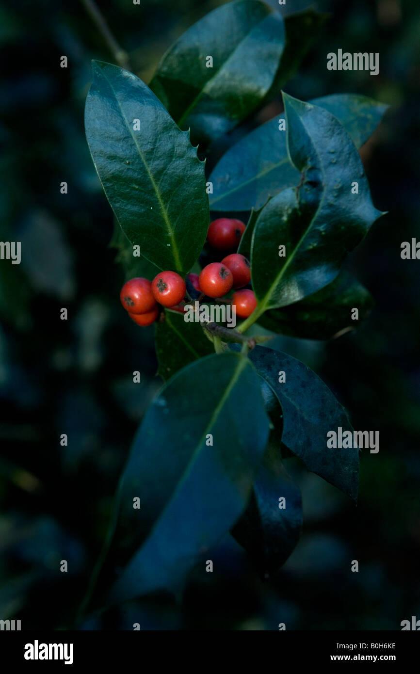Holly bush in berry in a woods near Medmenham in Buckinghsmshire, England. Stock Photo