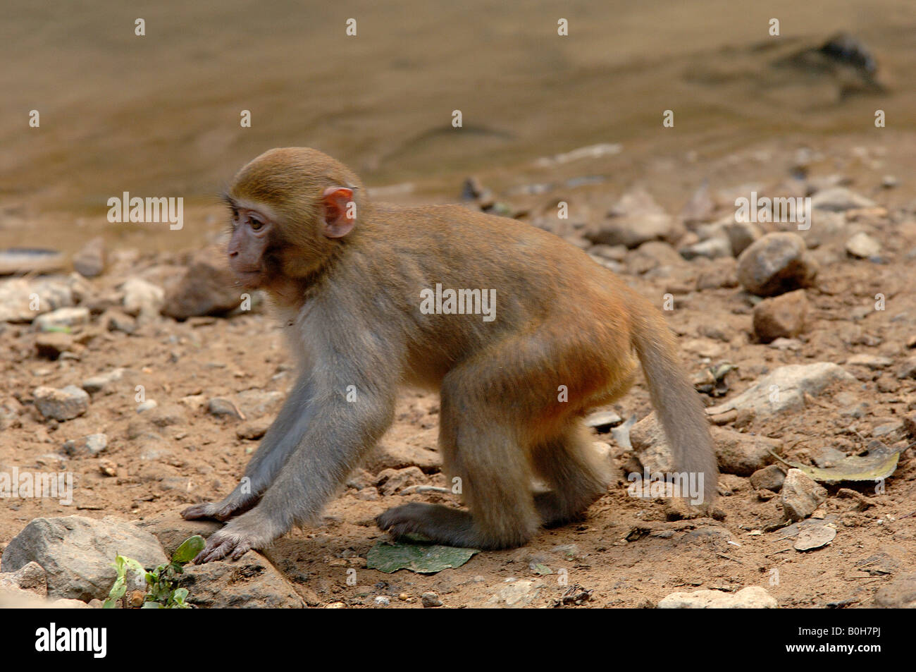 Young Rhesus macaque Macaca mulatta Yunnan China has given its name to the rhesus antigens found in their blood - Stock Image