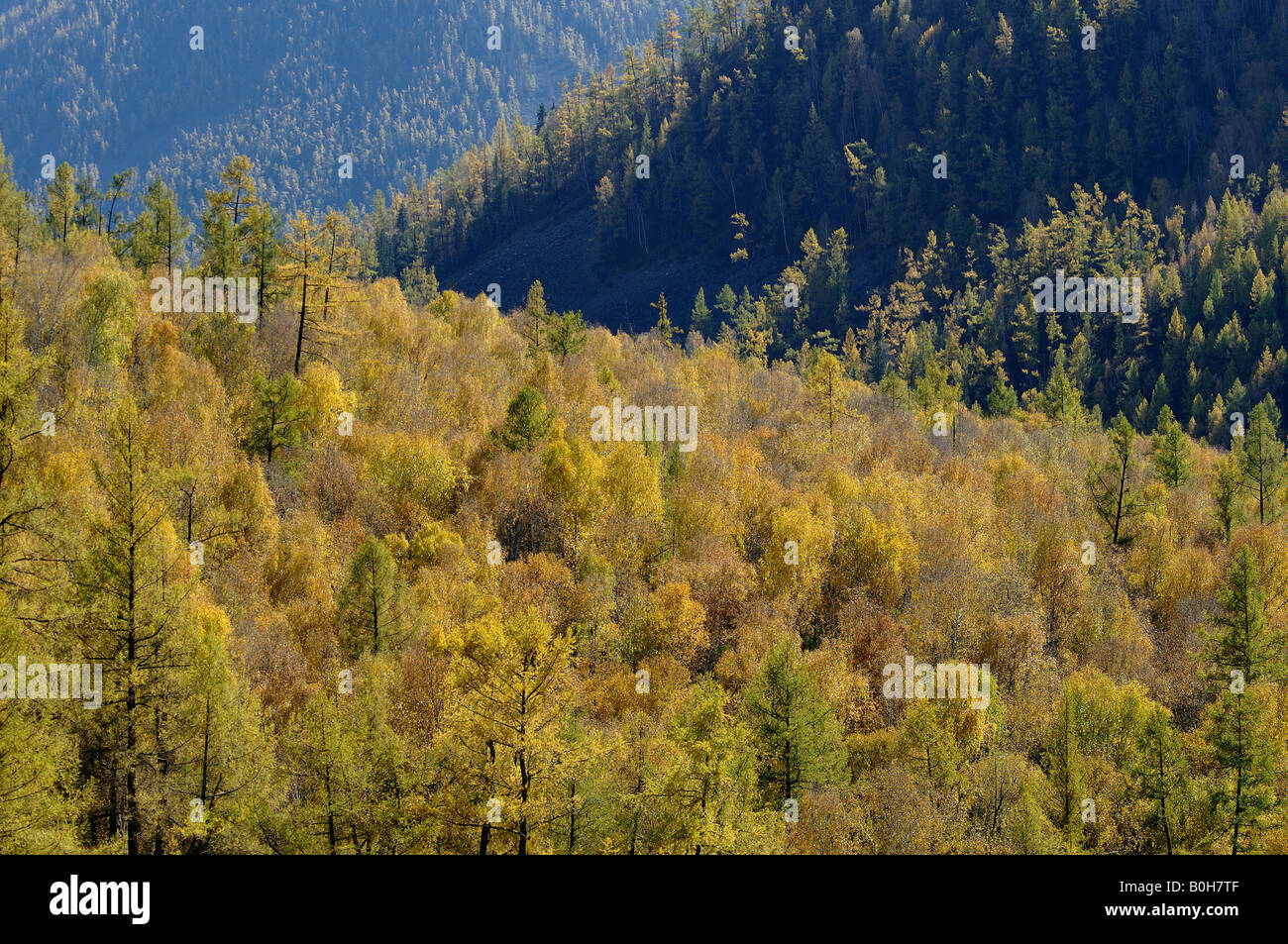 Birch and larches turning in autumn in Kanas Nature Reserve Xinjiang China - Stock Image