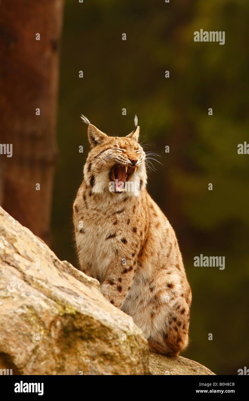 Eurasian Lynx (lynx lynx), yawning - Stock Image