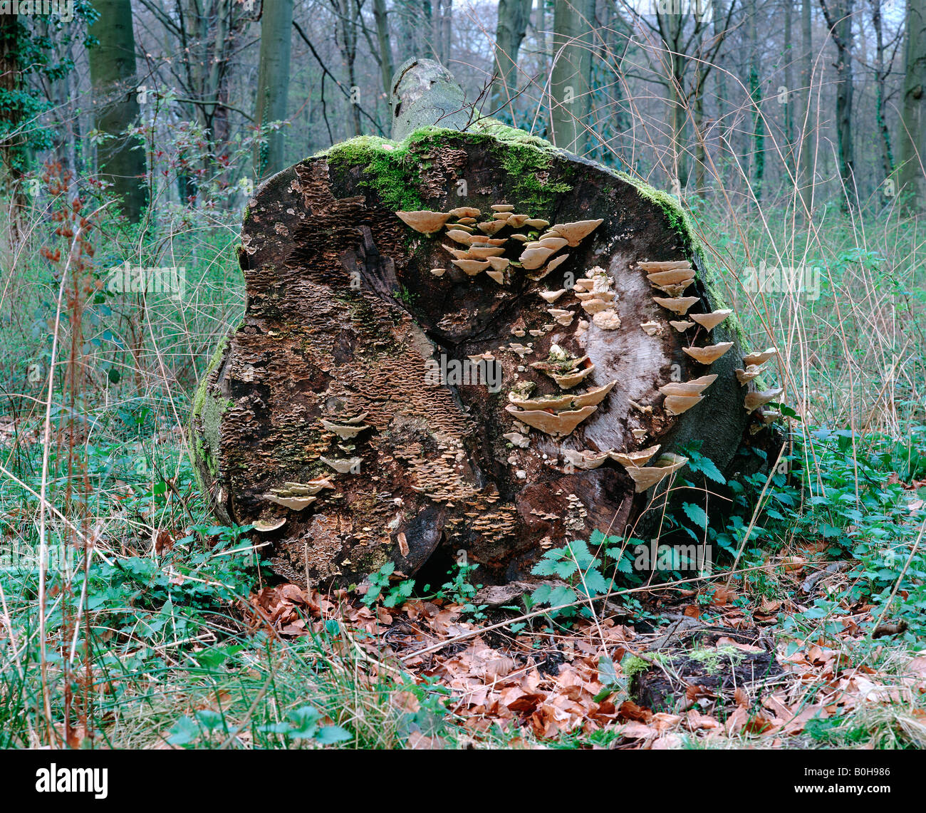 Dead tree trunk covered with Bracket fungi (Fghi) and moss - Stock Image