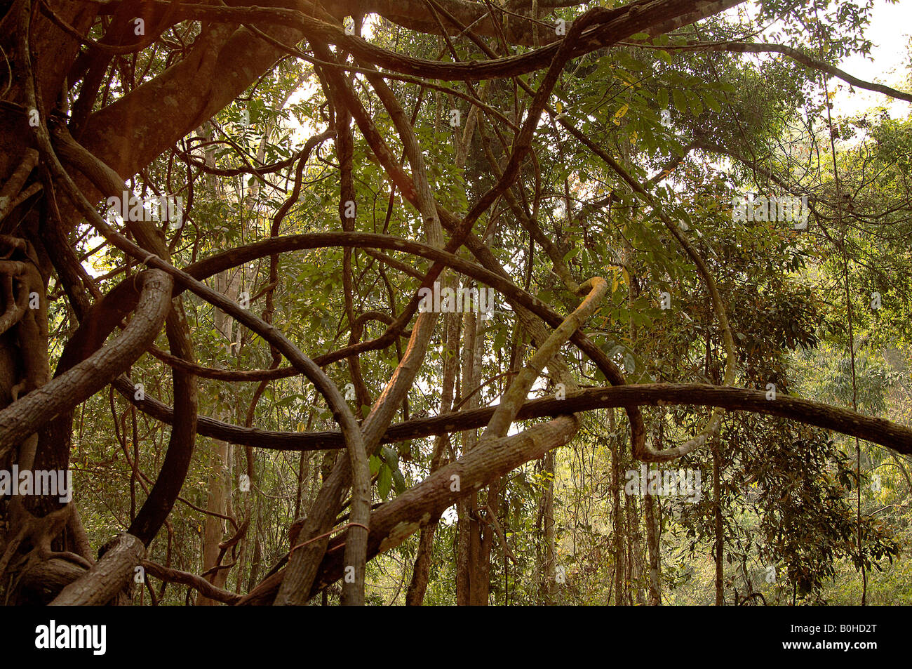Lianas or woody climbers in tropical rain forest Xishuangbanna Yunnan China - Stock Image
