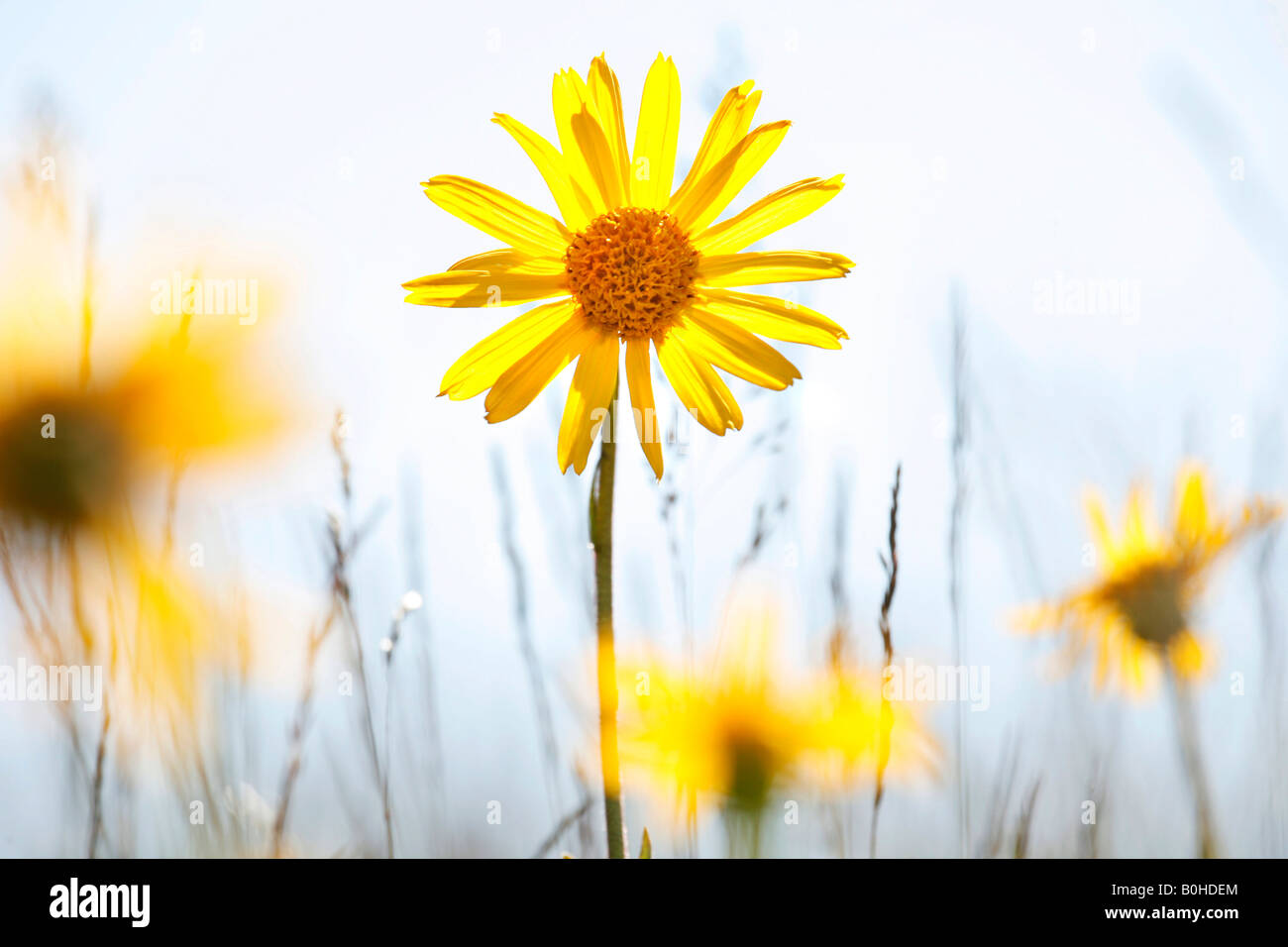 Medical plant Wolf's Bane (Arnica montana) in Markstein, Vosges Mountains, France - Stock Image