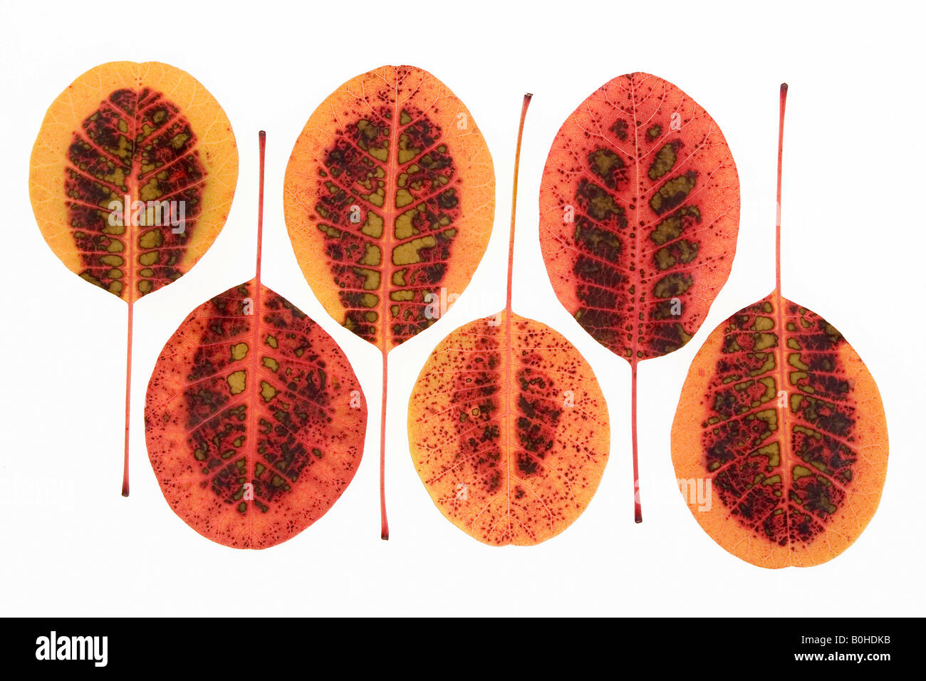 Eurasian Smoke Tree (Cotinus coggygria, Rhus cotinus), autumn coloured leaves - Stock Image