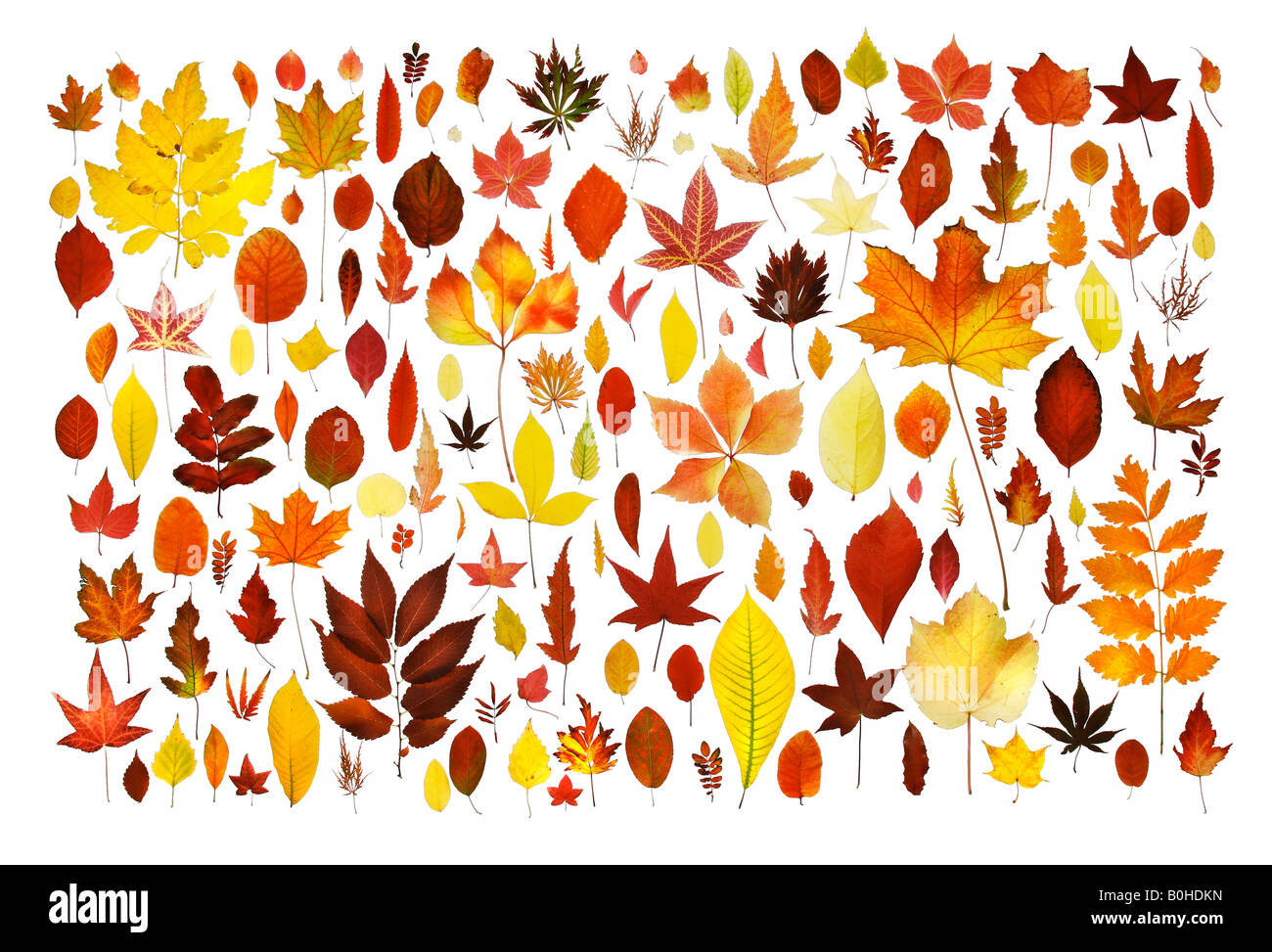 Collection of various autumn coloured leaves - Stock Image