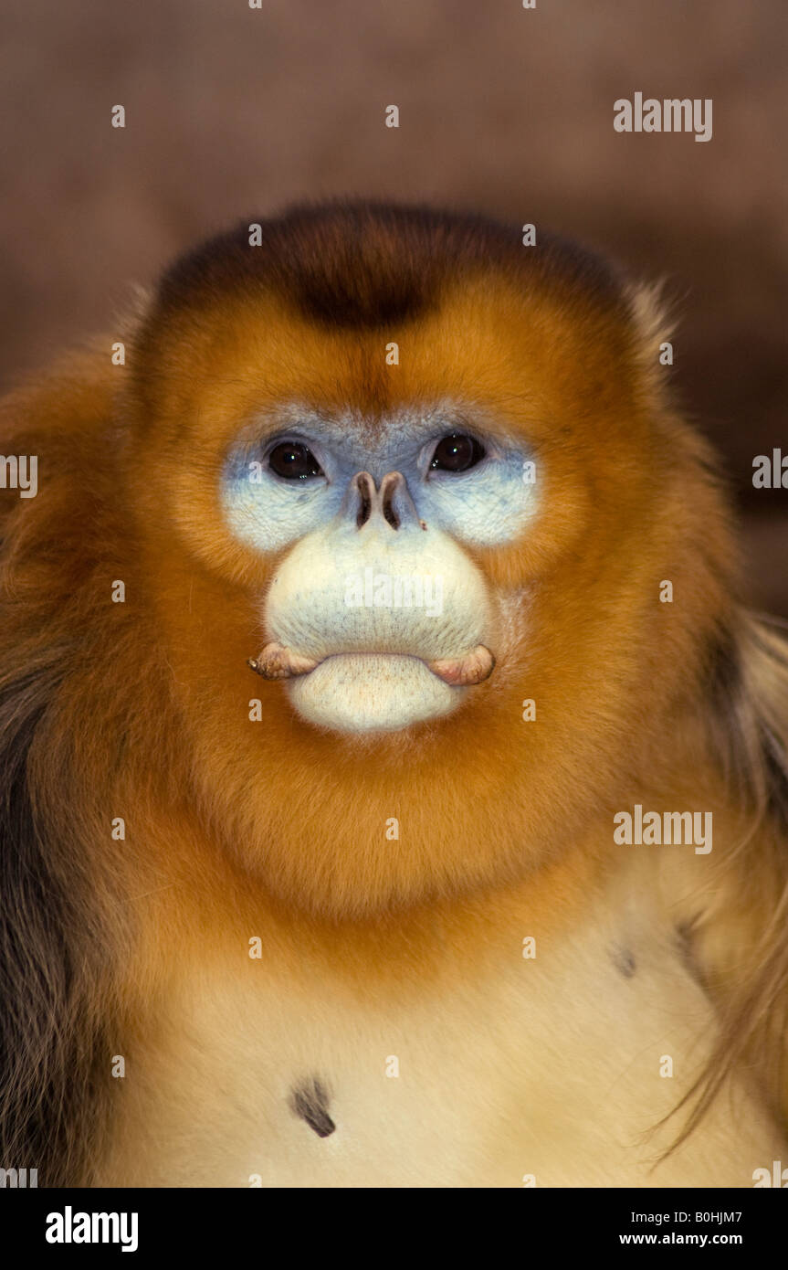 Male golden snub nose monkey Rhinopithecus roxellanae occurs in Hubei Shaanxi Gansu and Sichuan Provinces China - Stock Image