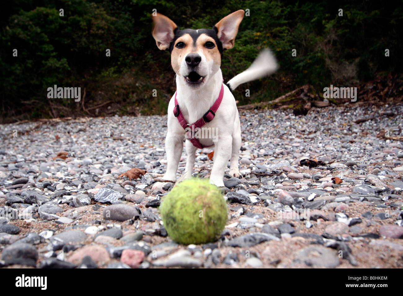 Jack Russell running after a ball - Stock Image