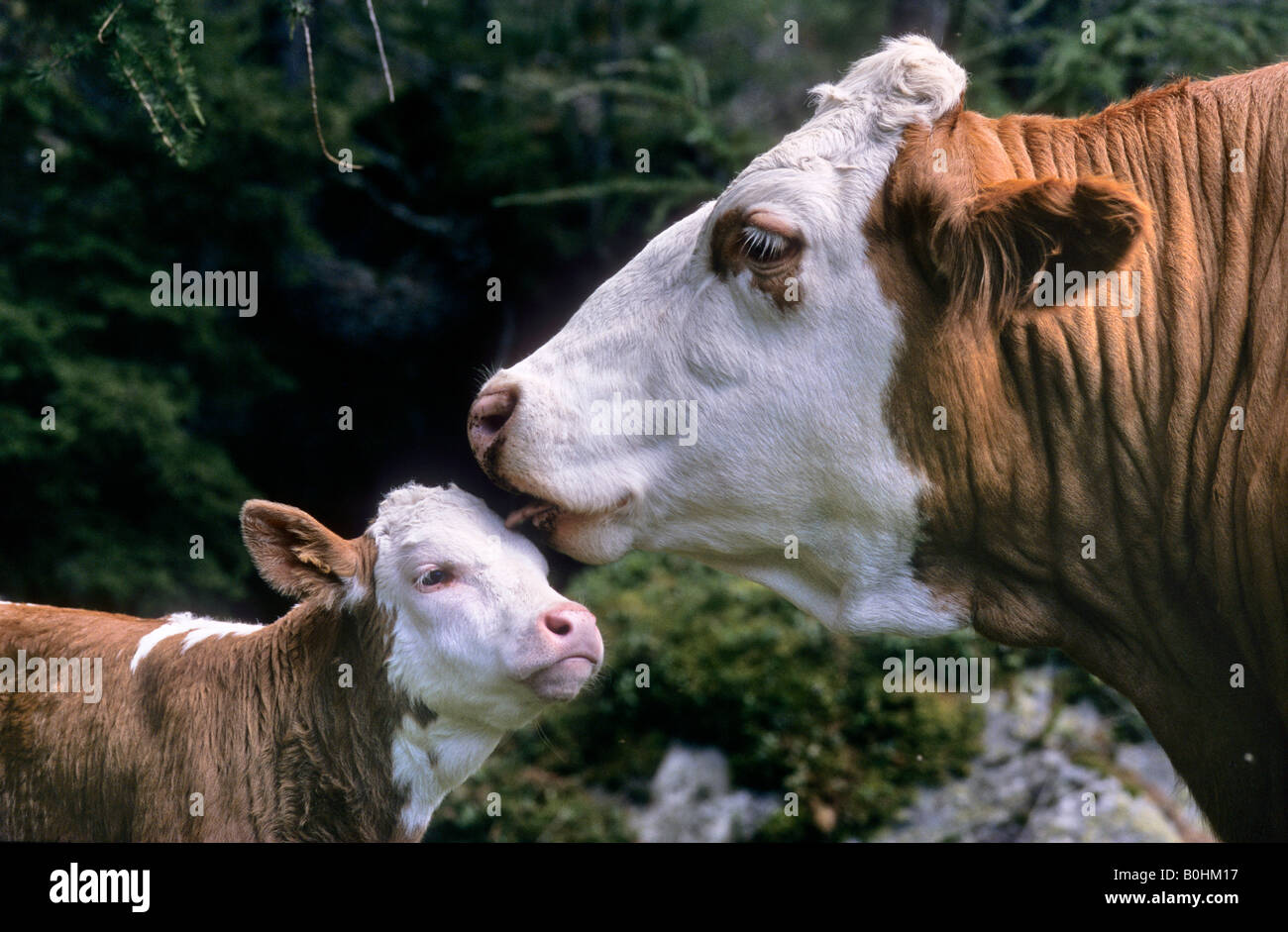 Cow licking her calf, Tyrol, Austria, Europe Stock Photo
