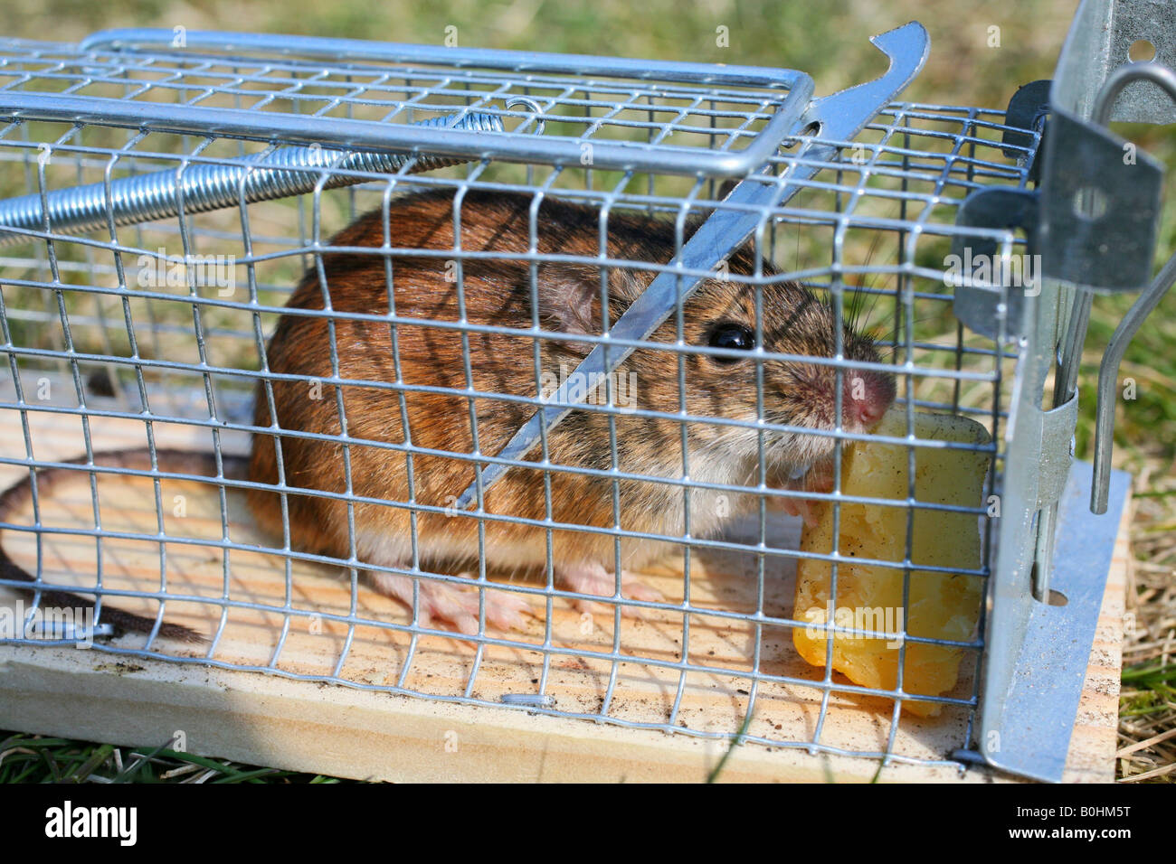 Mouse caught in a live-catching mousetrap Stock Photo
