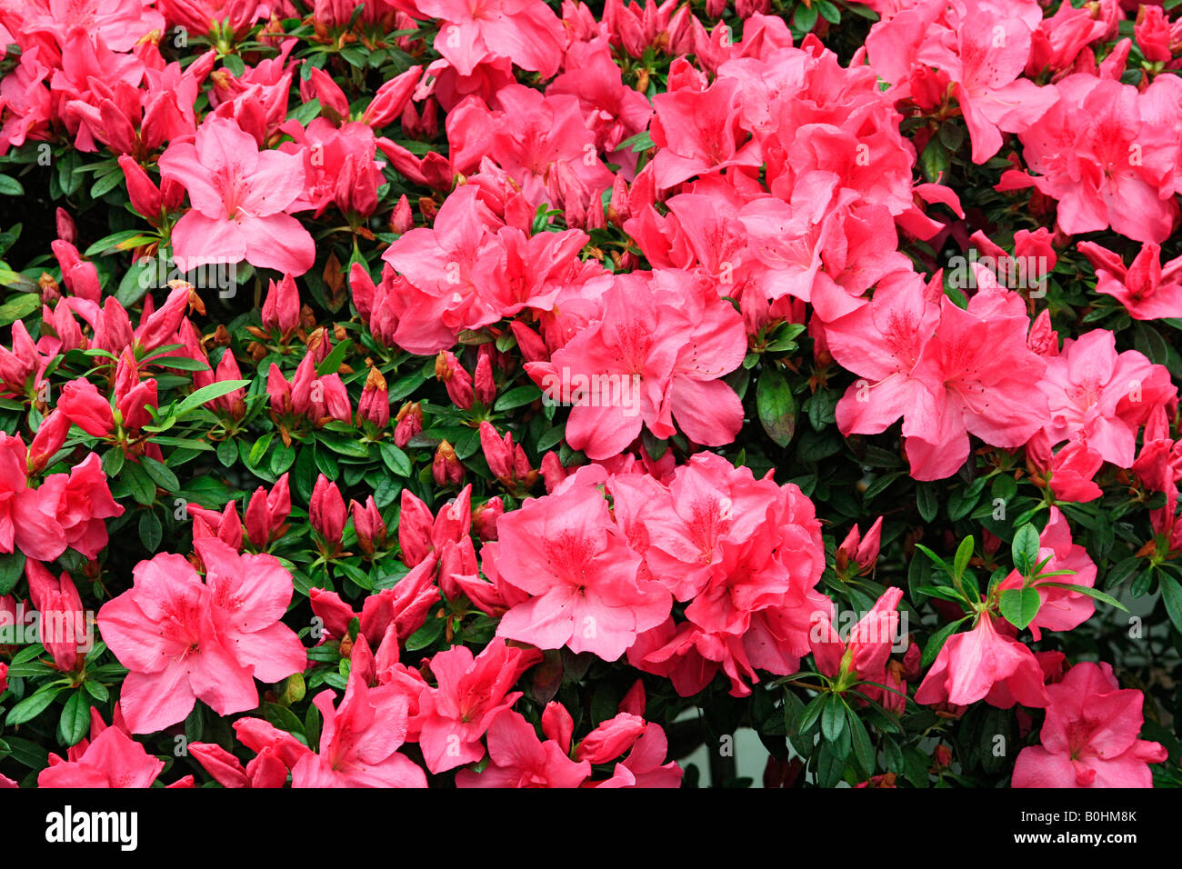 Azalea (Rhododendron), full red blossoms, luxuriously flowering - Stock Image
