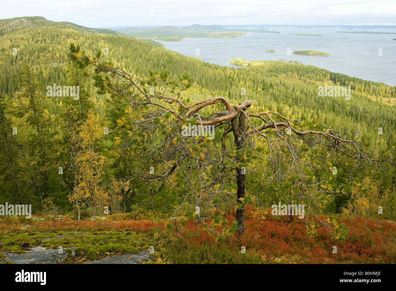 Lake Pielinen, pines, forest, autumn, Koli National Park, Finland, Scandinavia - Stock Image
