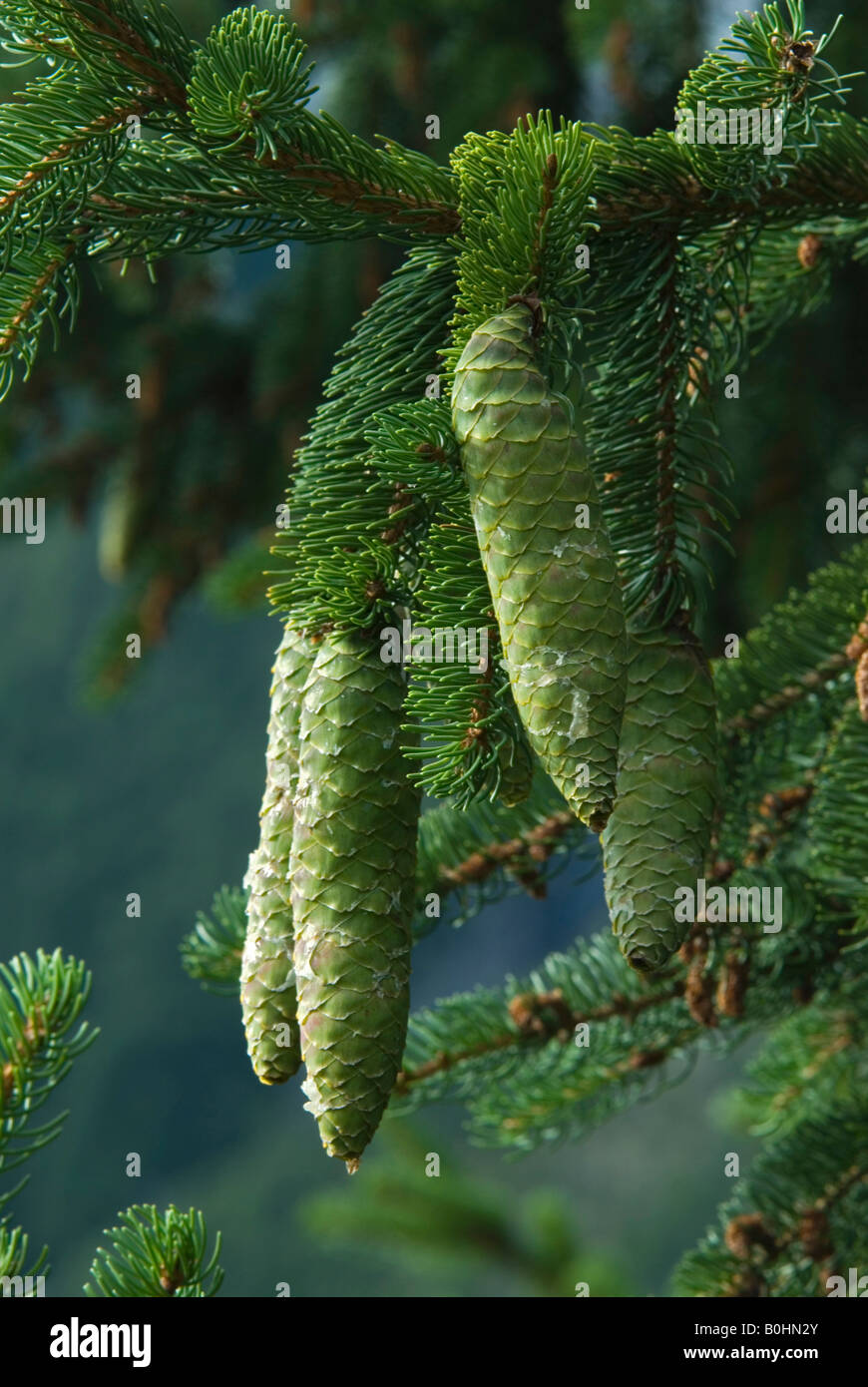 Norway Spruce (Picea abies) branches and cones, in Gaistal, Tyrol, Austria, Europe - Stock Image