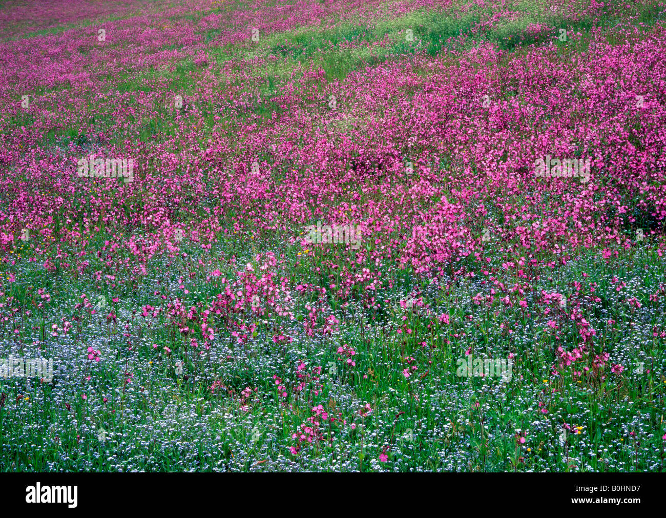 Red Campion (Silene dioica) and Wood Forget-Me-Nots (Myosotis sylvatica) in Aschau, Tyrol, Austria, Europe Stock Photo