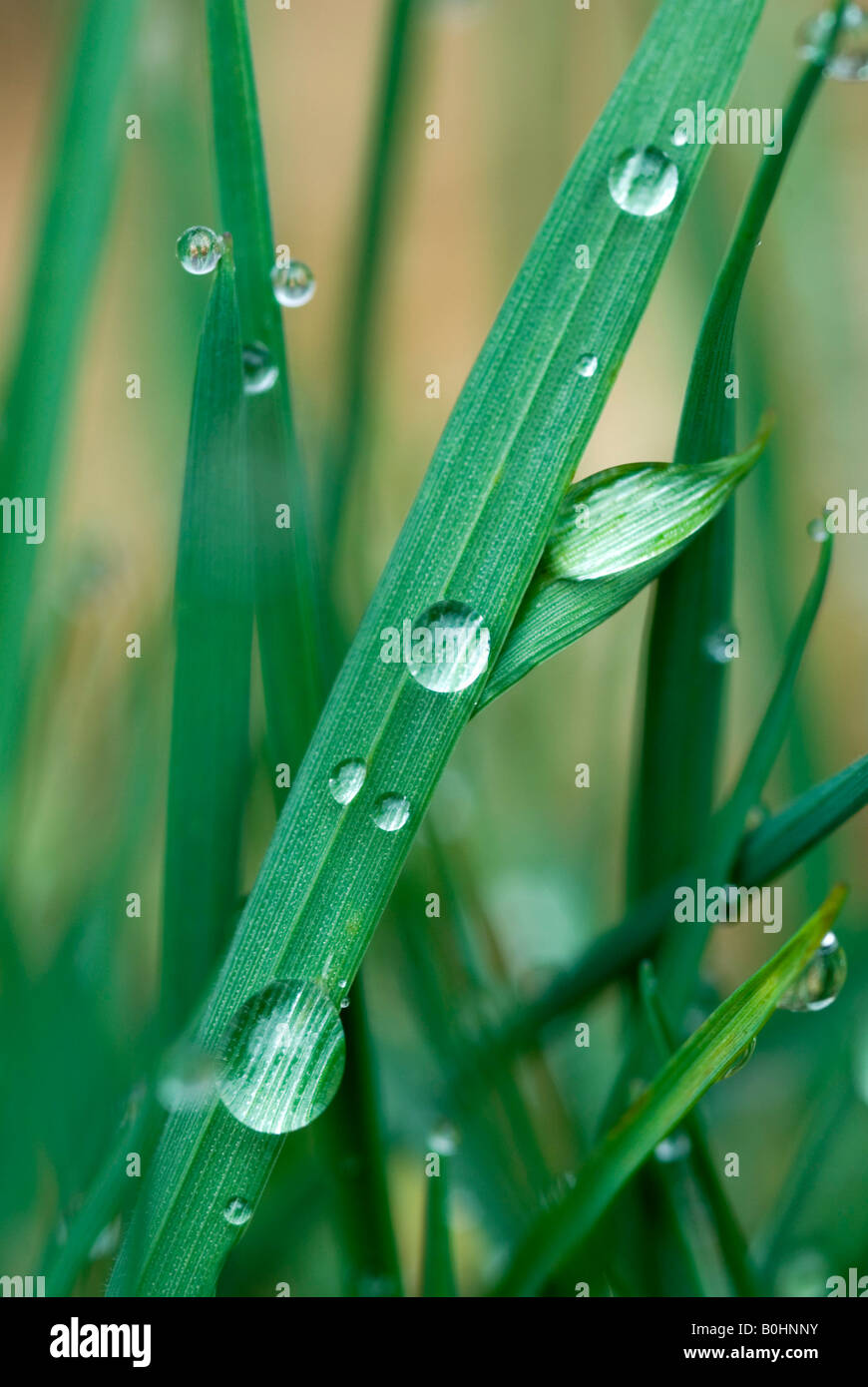 Water drops, waterdrops formed on blades of grass, Tyrol, Austria, Europe - Stock Image