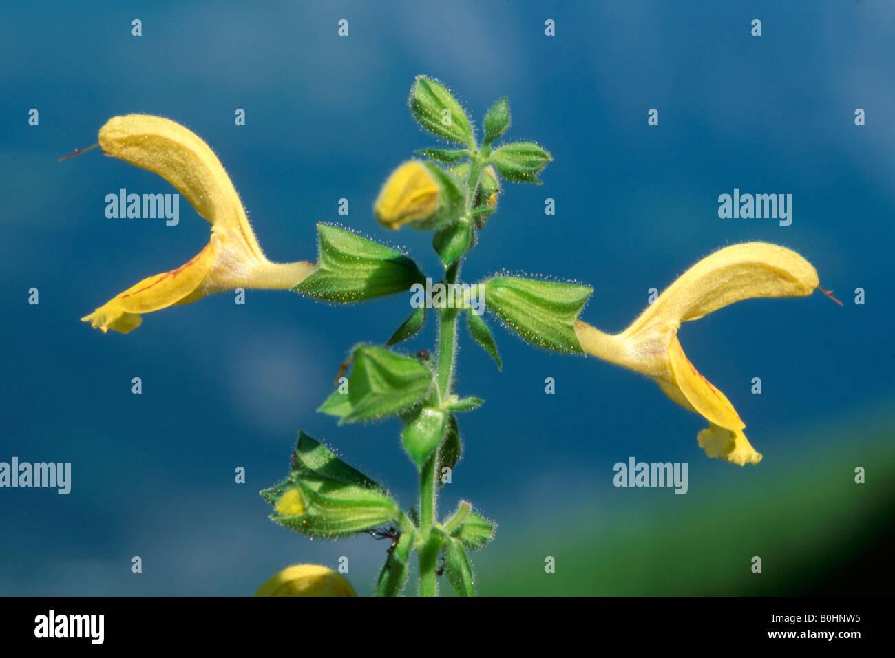 Sticky Sage (Salvia glutinosa), Schwaz, Tyrol, Austria, Europe Stock Photo