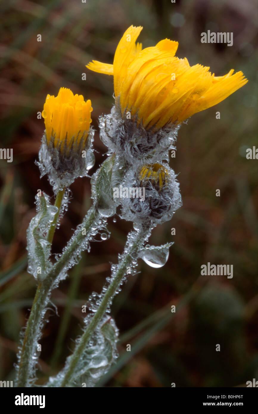 Shaggy Hawkweed (Hieracium villosum), Alpine Garden, Kitzbuehler Horn, Tyrol, Austria, Europe Stock Photo