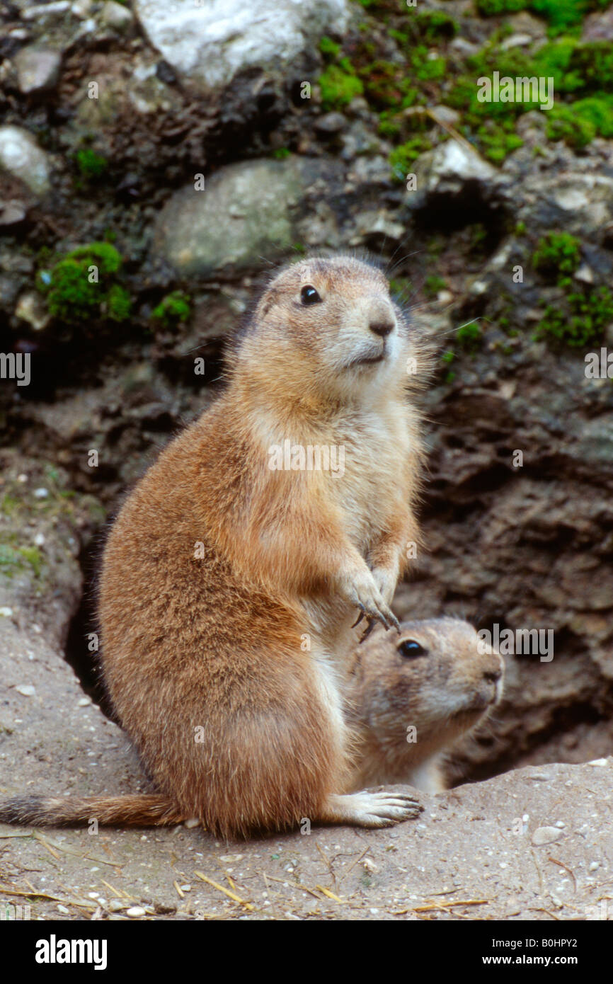 Black-tailed Prairie Dogs (Cynomys ludovicianus), Salzburg Zoo, Austria Stock Photo