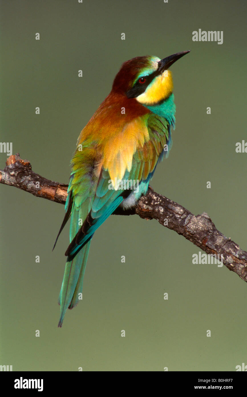 European Bee-eater (Merops apiaster) perched on a branch, Sardinia, Italy, Europe Stock Photo
