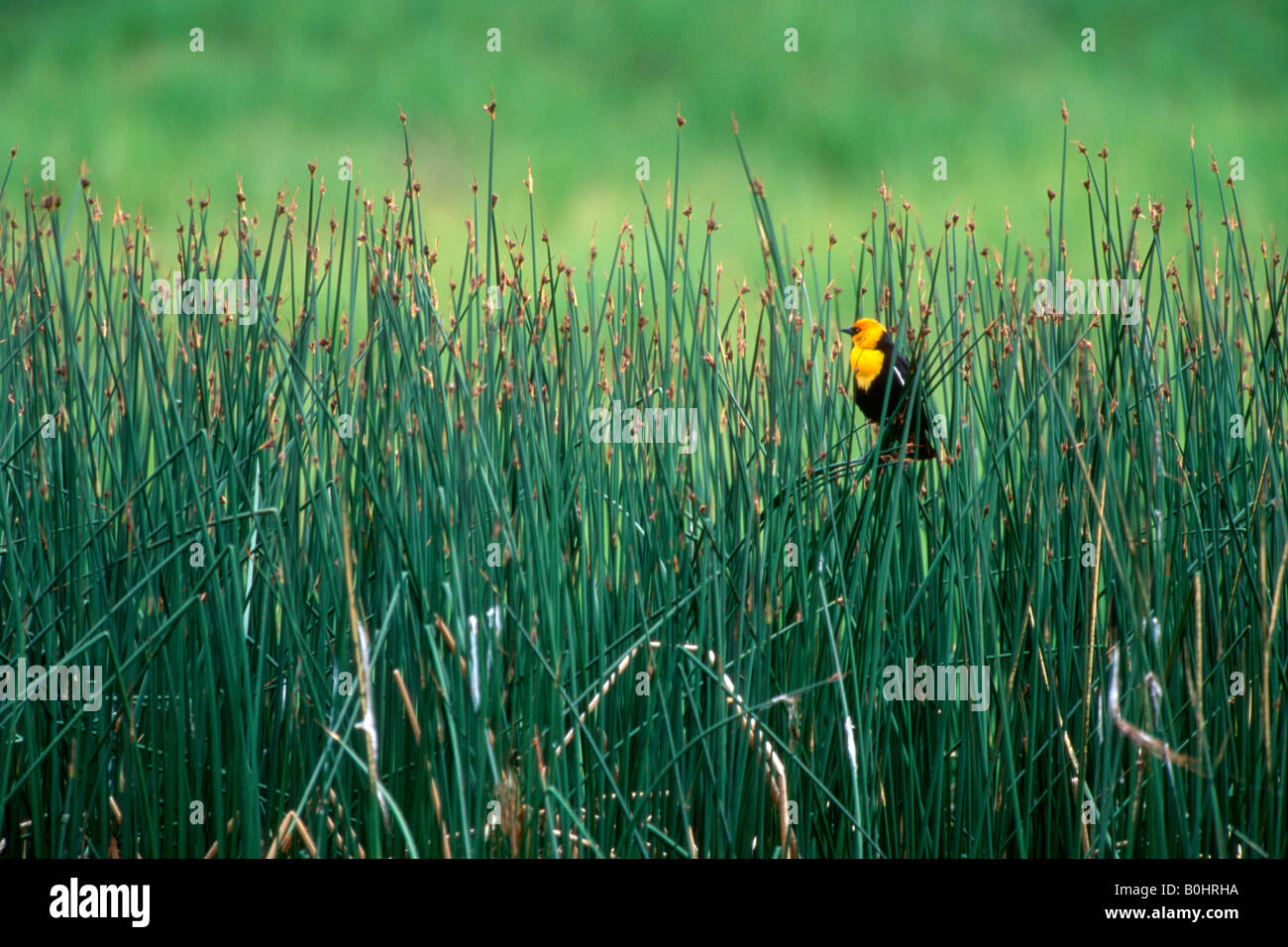 Yellow-headed Blackbird (Xanthocephalus xanthocephalus), Yellowstone National Park, Wyoming, USA, North America Stock Photo