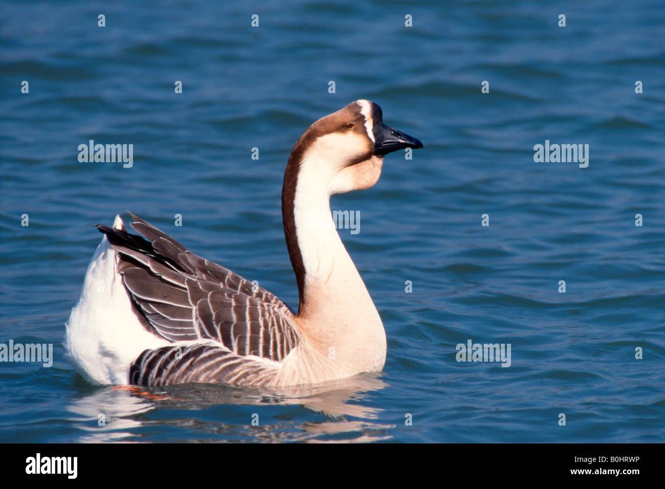 Domesticated Swan Goose (Anser cygnoides f. domestica), Inn River, Ebbs, Tyrol, Austria, Europe - Stock Image