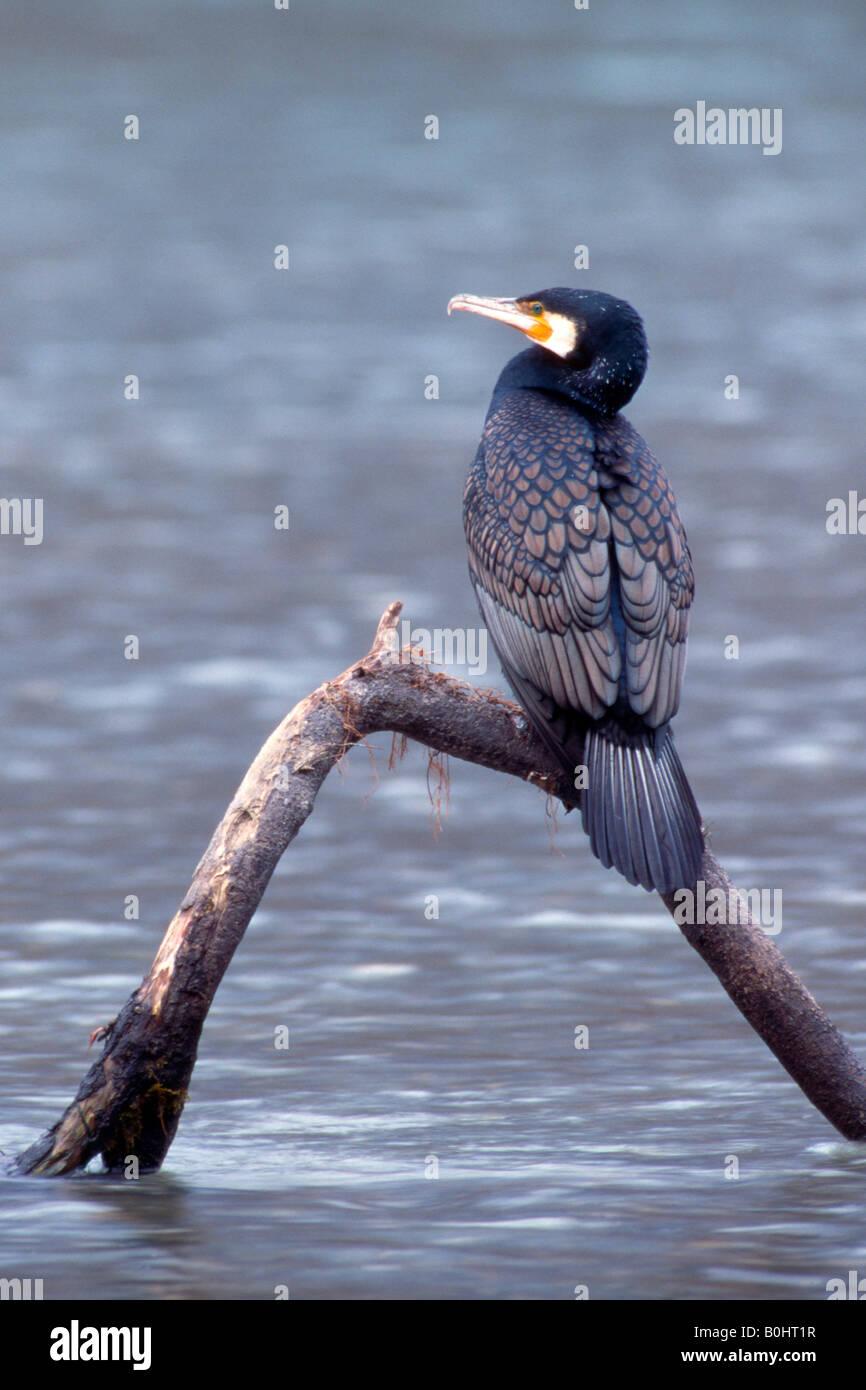 Great Black Cormorant (Phalacrocorax carbo), Inn River, Schwaz, Tyrol, Austria, Europe - Stock Image