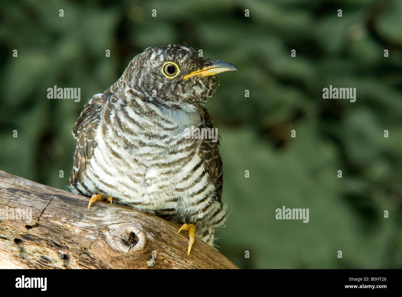 Common Cuckoo (Cuculus canorus), Schwaz, Tyrol, Austria, Europe - Stock Image