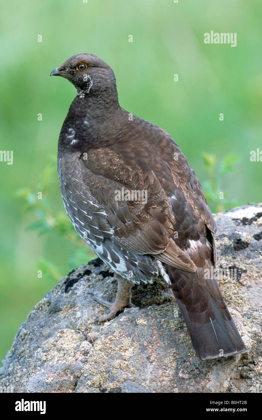 Dusky - or Blue Grouse (Dendragapus obscurus), Canada - Stock Image