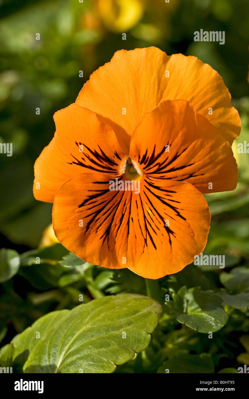 Flowering Garden Pansy (Viola x wittrockiana F1 Hybrid), blossom - Stock Image