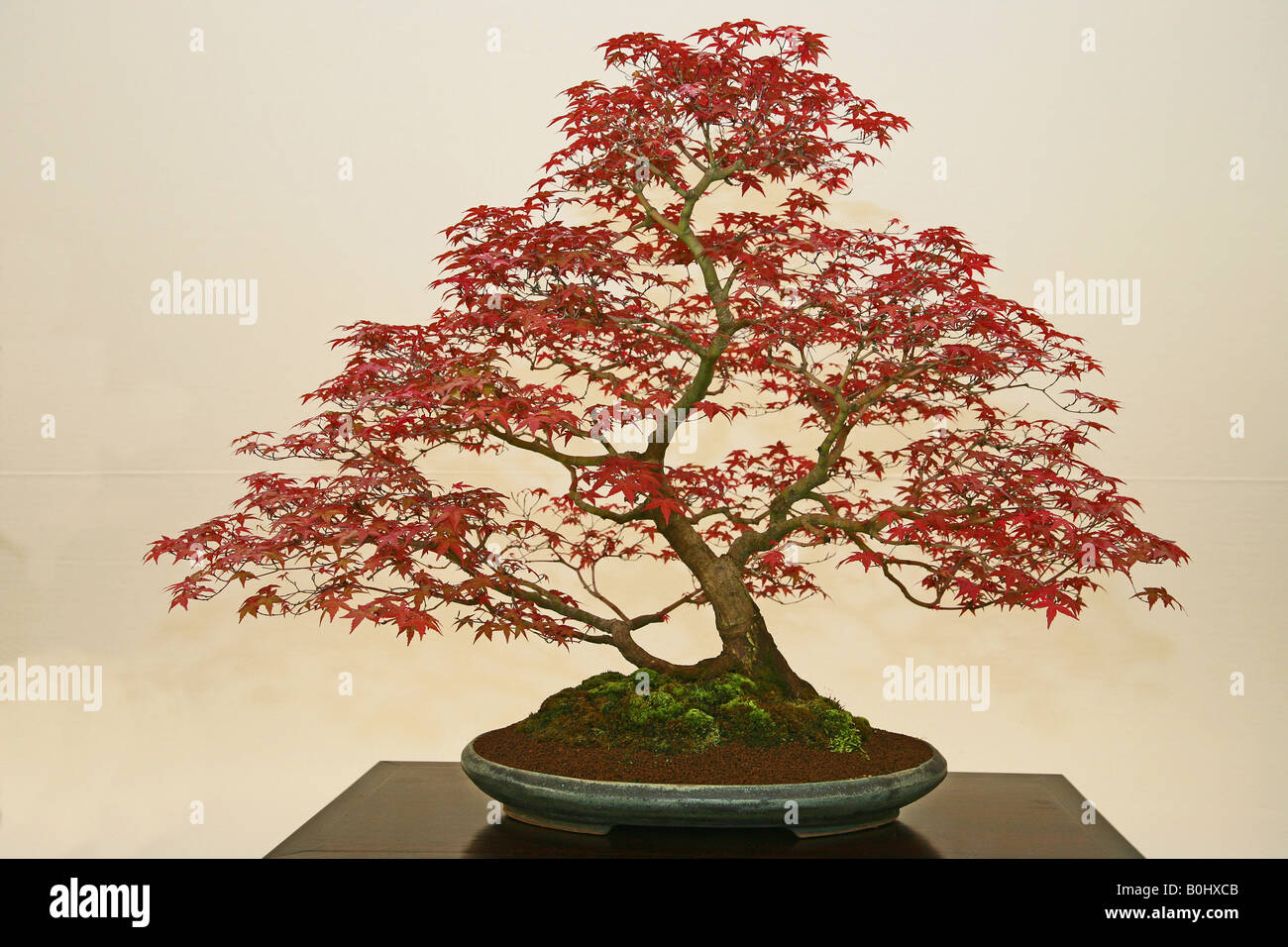 Japanese Maple Acer Palmatum Deshojo Stock Photo 17604283 Alamy