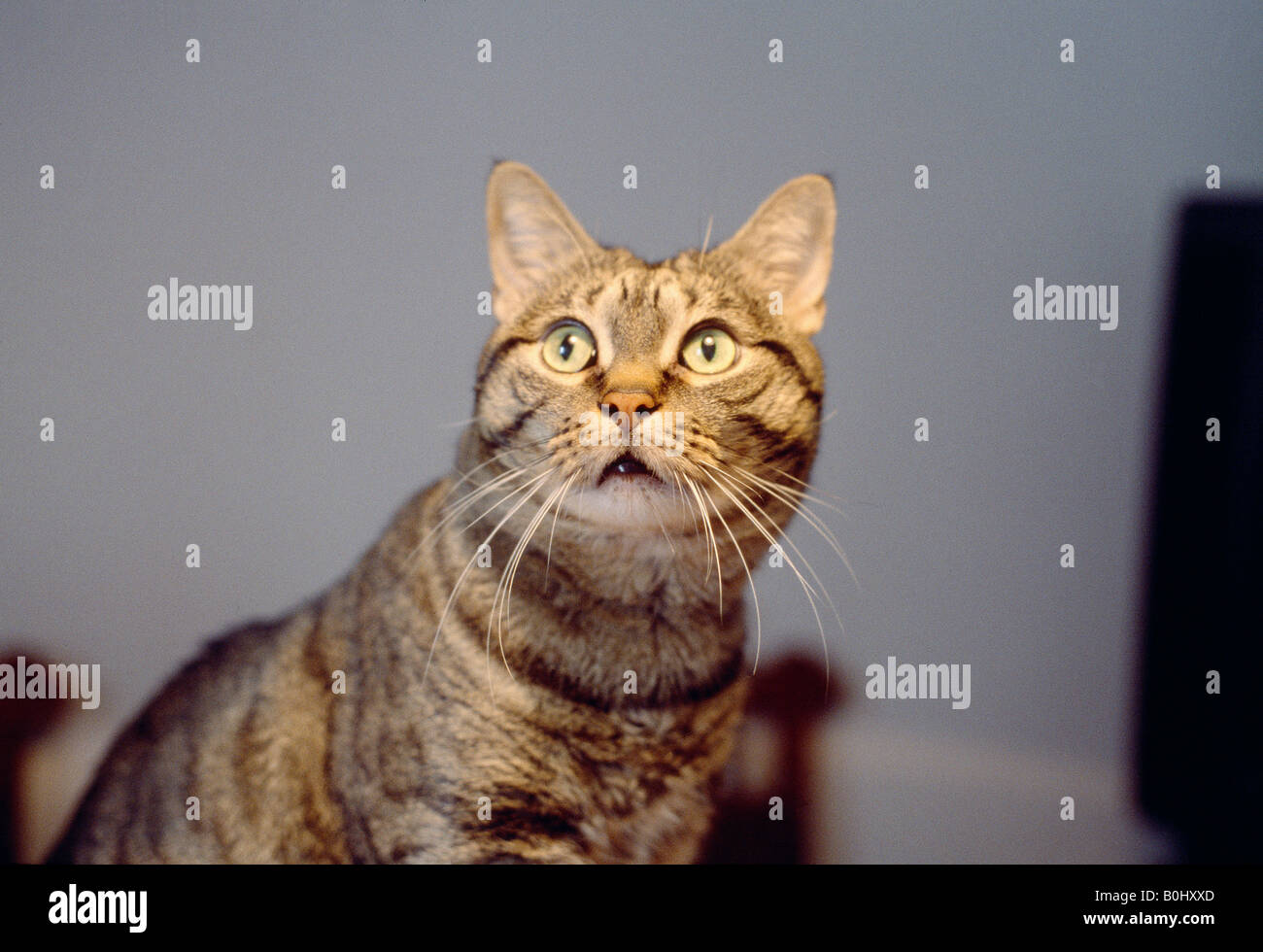 Tabby cat looking up watchfully. Stock Photo