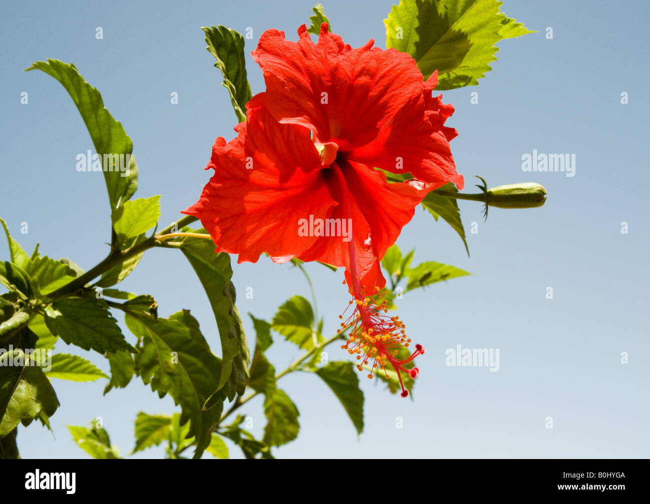 Gudhal in hindi stock photos gudhal in hindi stock images alamy red hibiscus flower at its best on a branch with dark green toothed leaves and bud izmirmasajfo