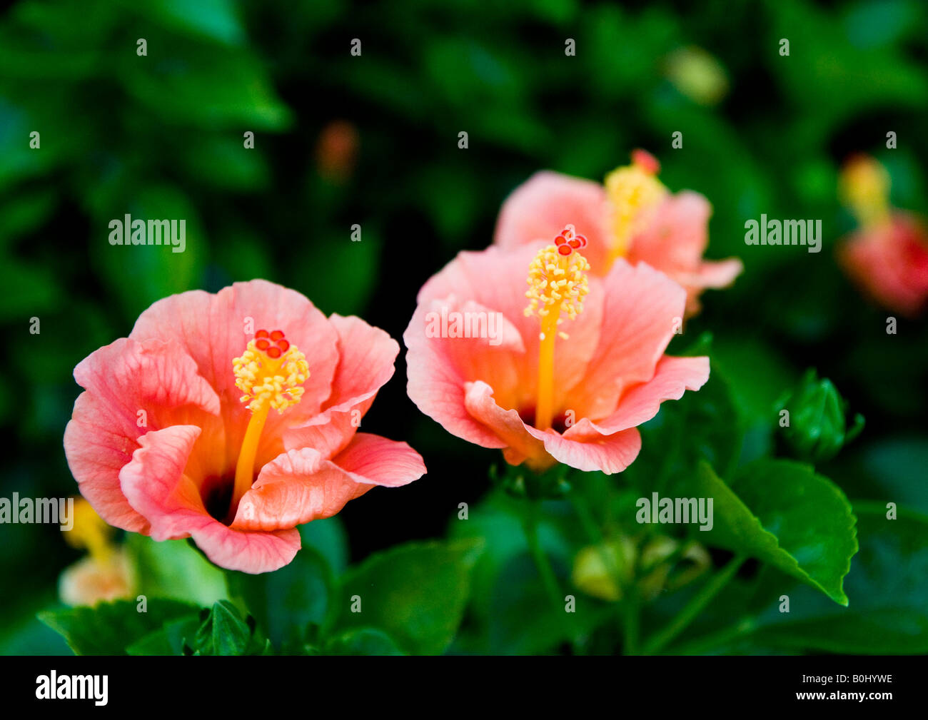 Dark green leaves the flowers are small and bell shaped stock photos deep pink hibiscus flowers at its best each with long central tube carrying yellow stamens and mightylinksfo