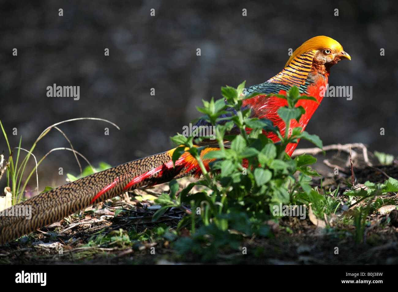 Male Golden Pheasant or Chinese Pheasant 'Chrysolophus pictus' Tresco, Isles of Scilly, UK - Stock Image