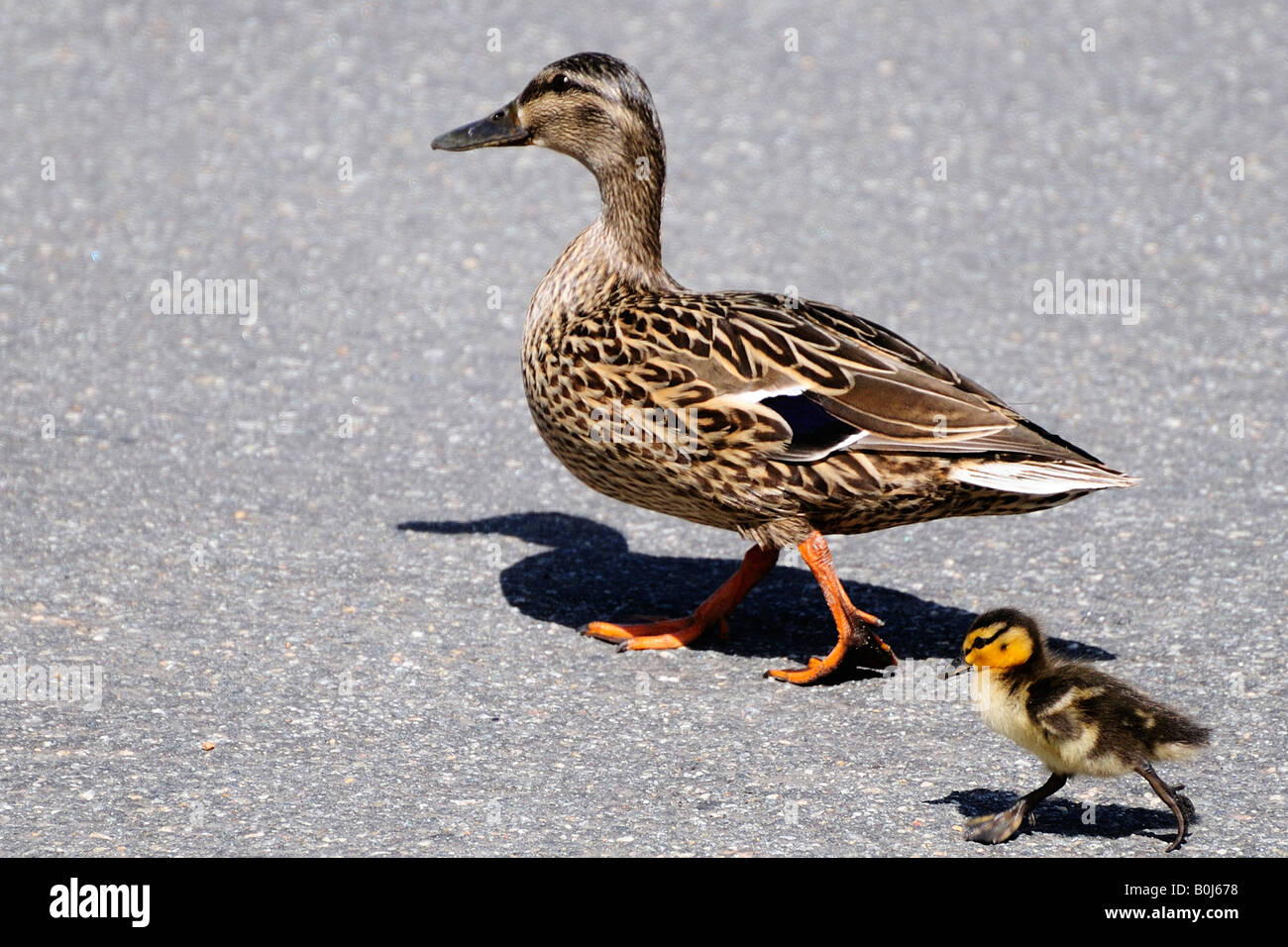 Mallard hen duck walking followed by baby duckling - Stock Image