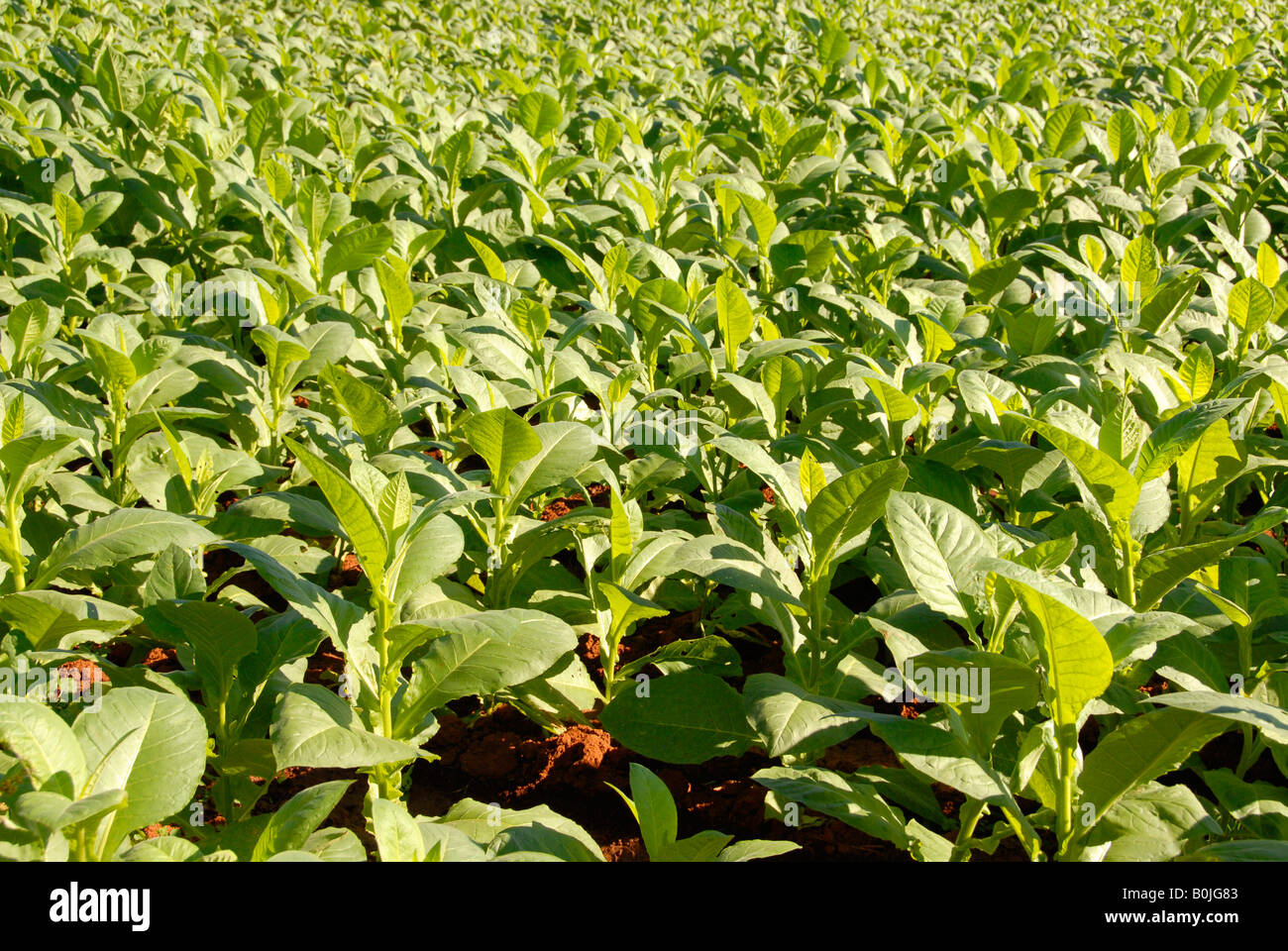 Close up view of a tobacco plantation - Stock Image
