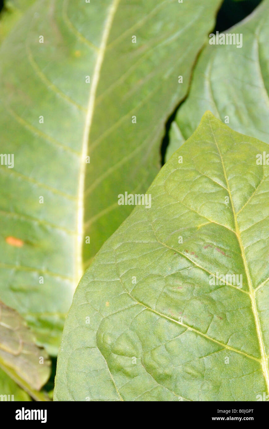 Close up view of tobacco leaves in a plantation - Stock Image