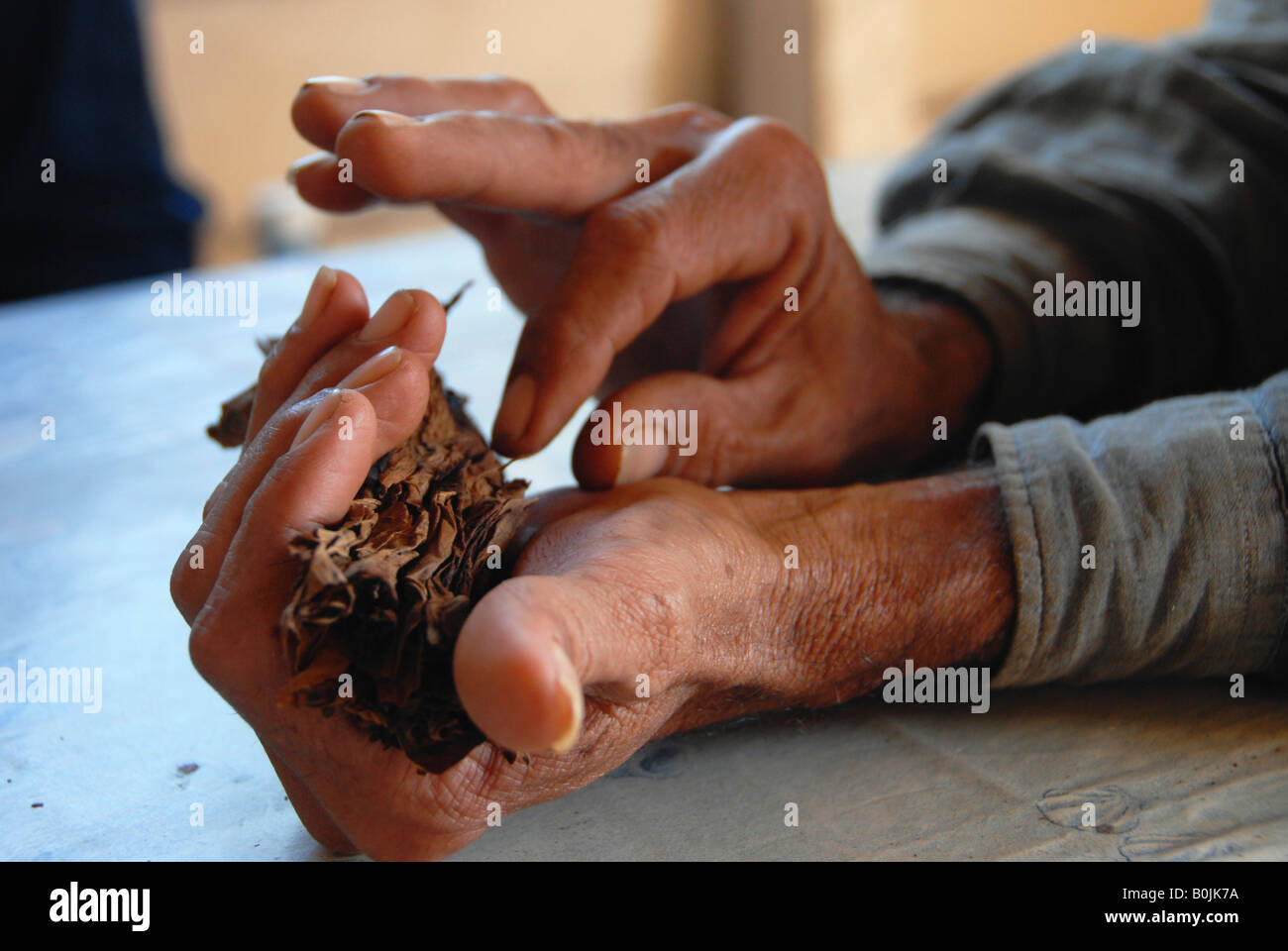 Hands of a tobacco farmer rolling a cigar - Stock Image
