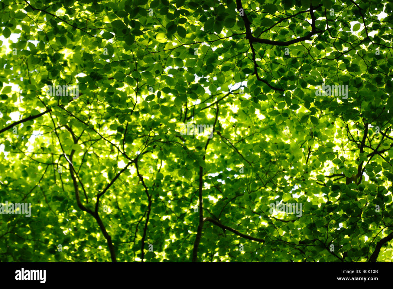 Beech tree canopy and green leaves in spring sunlight, England, UK - Stock Image
