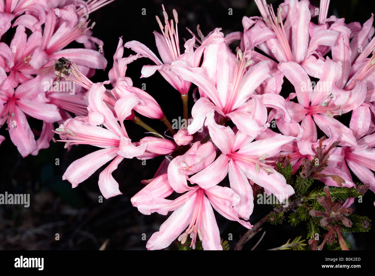 Pink Nerine/Nerina/Guernsey Lily and Honey Bee collecting pollen-Nerine sarniensis and Apis mellifera -Family Amaryllidaceae - Stock Image
