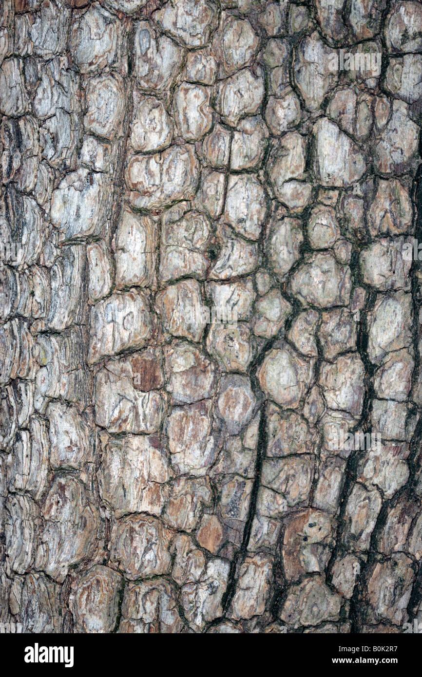 Japanese Date Plum Tree Bark /Kaki Tree-Diospyros kaki-Family Ebenaceae Stock Photo