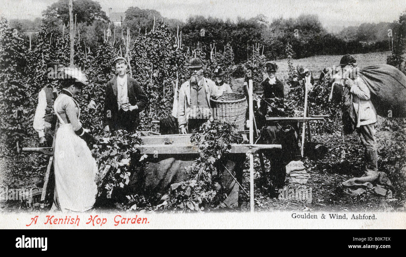 A Kentish hop garden, 1905.Artist: Goulden and Wind - Stock Image