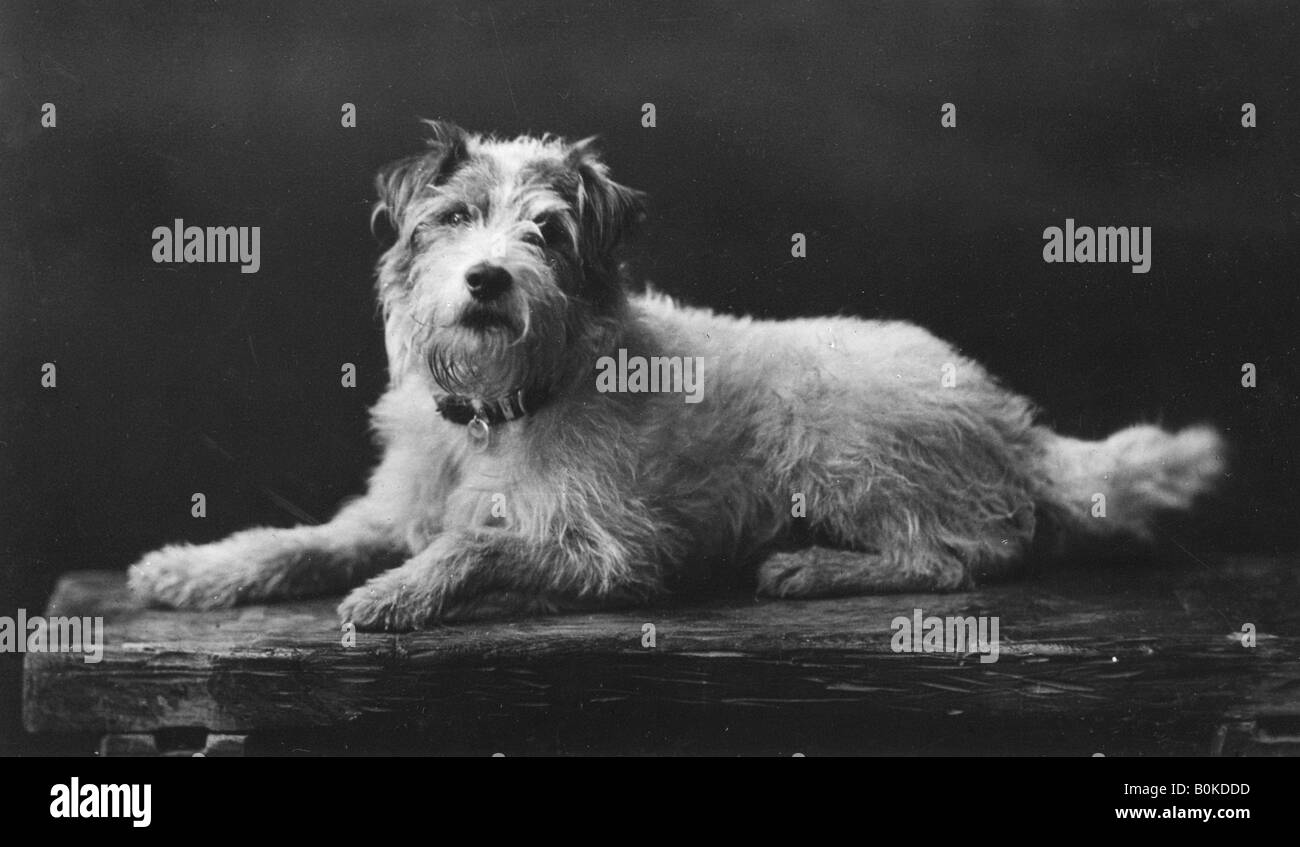 Caesar, King Edward's favourite dog, 20th century. - Stock Image