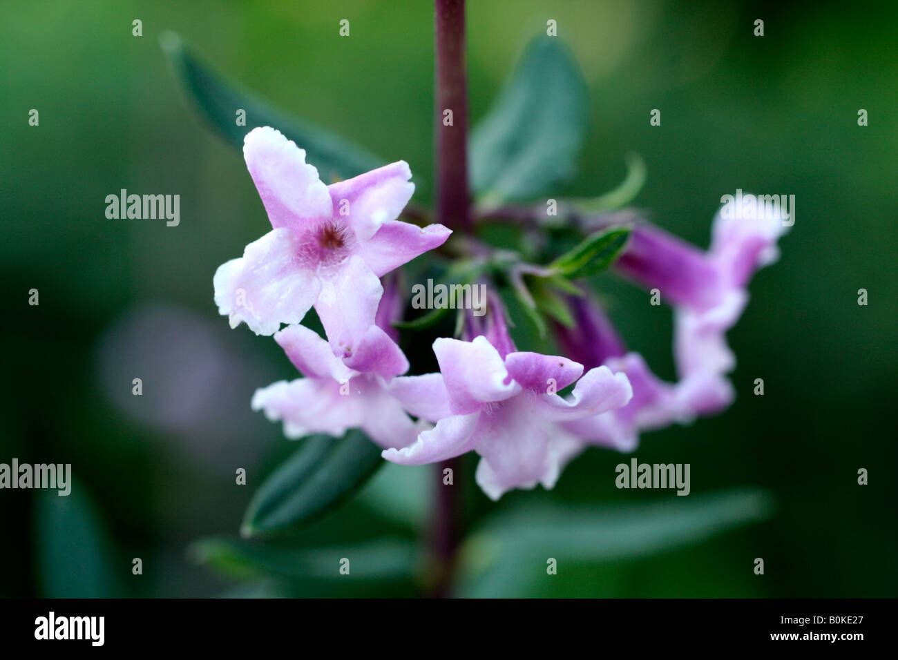 LONICERA SYRINGANTHA - Stock Image