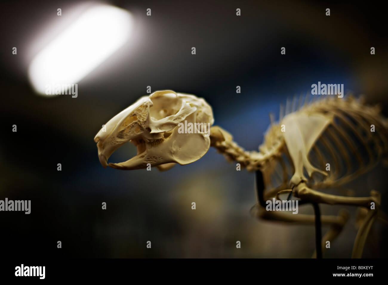 Rabbit skeleton in a school classroom - Stock Image
