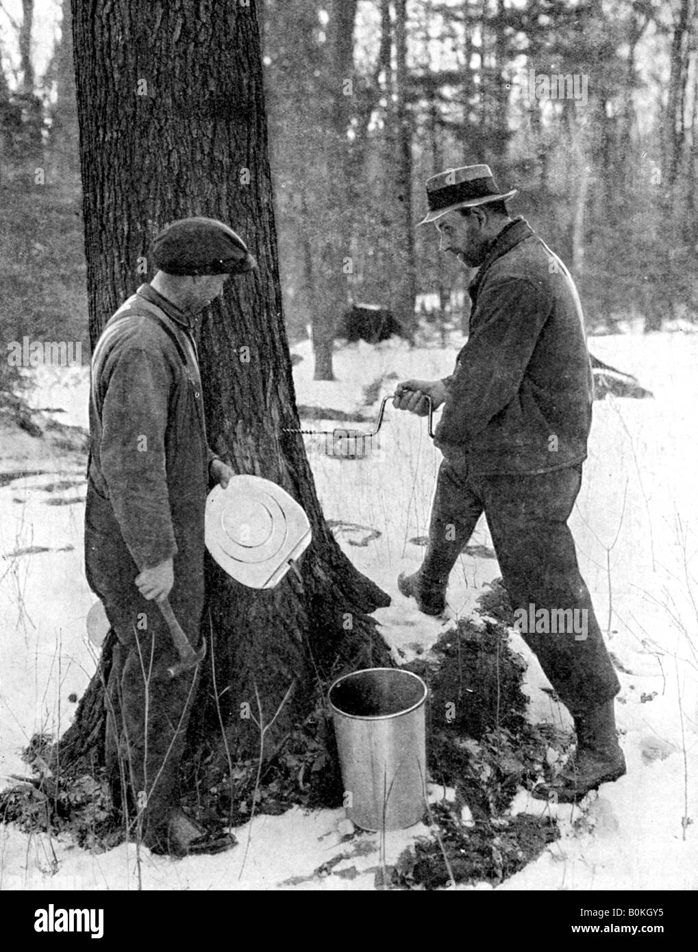 Tapping for maple syrup, Canada, 1936.Artist: Canadian Government - Stock Image